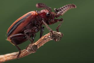 Ant nest beetle