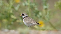 Ringed Plover (Minsmere Coast) (Peet Carr) Tags: minsmere rspb charadriiformes ringedplover cha