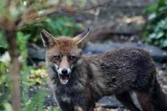 wild beautiful animal garden dusk teeth fox redhill surprised p uneasy showing alert unlimitedphotos hcawl