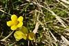 Fiori gialli della Majella - Abruzzo - Italy
