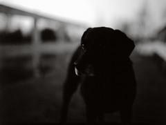 [001150] (Jorkew) Tags: camera blackandwhite dog chien white black blur mamiya film blurry 645 fuji c slidefilm velvia unknown converted expired rvp100f mamiya645 leeuwarden rvp 80mm 100f fujivelvia velvia100f f19 blackandwhiteconversion sekor filmisnotdead m645 80mmf19 sekorc 80mm19 mamiyasekorc80mmf19 sekorc80mm mamiyasekorc