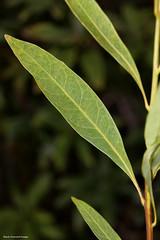 Hollandaea riparia - Roaring Meg Hollandaea (Black Diamond Images) Tags: leaf queensland australiannativeplant proteaceae australiannativeplants australianplants rainforestplants rainforestplant arfp australianrainforestplant australianrainforestplants rnrfgdb qrfp hollandaea roaringmeghollandaea hollandaeariparia rnrfgdbarfp foeaendemicgenus