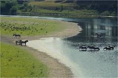 Cooling Down (Joep Hendrix) Tags: horses nature water river landscape belgium nederland belgi natuur zomer brug maas limburg landschap paard paarden rivier maaseik konik konikpaarden limburgslandschap maasbrug roosteren aldeneik
