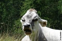 Nicht alle Schweizer Kühe schauen glücklich drein... (Fextal, Oberengadin) (2015-07-29 -05) (Cary Greisch) Tags: switzerland kuh che vache oberengadin fex fextal valfex kantongraubünden carygreisch engiadin'ota chalchera