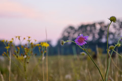 gentle people with flowers in their hair (mind_surfer) Tags: sunset flower nature field yellow sonnenuntergang purple natur feld lila gelb blume goldenhour abendrot campingtrip mecklenburgvorpommern mecklenburgischeseenplatte