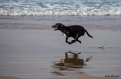 Full ahead !!! (JOAO DE BARROS) Tags: joão barros animal dog speed run beach
