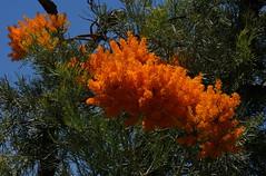 Xmas tree starting to flower,Nytsia florabunda. (ron_n_beths pics) Tags: westernaustralia perthbushlands nytsia wildflowers