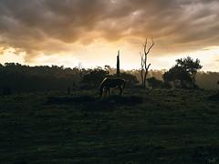 Horse-Play-swm (thomasbrownphoto) Tags: horse light farm crescent head australia clouds medium format 645z pentax phase one