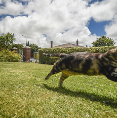 Leap (M J Adamson) Tags: sweetpea cats pets nz newzealand action outdoor outdoors