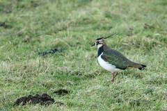 Lapwing (Sylviane Moss) Tags: bird wildlife england suffolk swt lackfordlakes lapwing vanellusvanellus northernlapwing peewit pewit tuit tewit greenplover nature