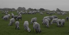 ramat de l´Emporda (peretorres1) Tags: cutout emporda olympus ovelles sheep