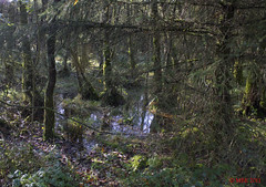 Marl Bog (Mick @ MBE) Tags: marl marlbog tipperary ireland panoramio trees woods bog 2011 mbe november autumn water reflection ballintemple dundrum
