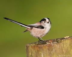 Long-tailed Tit-4994 (kevinmayhew62) Tags: lynfordarboretum longtailedtit aegithaloscaudatus