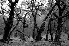 Inverno / Winter (EXPLORE Dec 27, 2015 #87) (Francisco (PortoPortugal)) Tags: 2632016 20150214fpbo0426 pb nb bw monocrome inverno winter árvores trees valinhas porto portugal portografiaassociaçãofotográficadoporto franciscooliveira