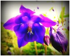 Last Summer In My Garden (kurtwolf303) Tags: blume blüte garten garden flower natur nature nikoncoolpixs9900 compactcamera blossom sommer summer colors farben bunt topf25 250v10f fotorahmen frame topf50 500v20f unlimitedphotos 1000v40f