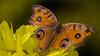 Butterfly (bhaskar samanta) Tags: nikon nikonflickraward nikkor nature nikond3300 nikonindia naturephotography india insect bengal d3300 55300mm 55300 beautiful beauty butterfly yellow flower closeup colourful colour westbengal wildlife wallpaper