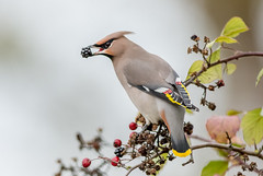 DSC1475  Waxwing.. (jefflack Wildlife&Nature) Tags: waxwing waxwings bohemianwaxwing birds avian animal wildlife wildbirds woodlands trees rowan berries parklands wintermigrant countryside nature norfolk ngc