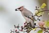 DSC1475  Waxwing.. (jefflack Wildlife&Nature) Tags: waxwing waxwings bohemianwaxwing birds avian animal wildlife wildbirds woodlands trees rowan berries parklands wintermigrant countryside nature norfolk