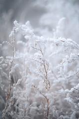 DSC_9784 (gabriella.hafner) Tags: winter hungary zúzmara cold hideg hó snownature macro
