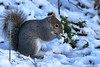 First snow of winter (david.england18) Tags: greysquirrel squirrel smallbirds wildlife various tits blue great coal queensparkheywood canon7d canonef300mmf4lisusm