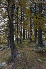 lariceto, larch-wood (paolo.gislimberti) Tags: wood bosco alberi trees conifere conifers sottobosco undergrowth autumn autunno autumnalcolors coloriautunnali
