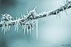 DSC_0033n wb (bwagnerfoto) Tags: winter rime zúzmara january outdoor detail depthoffield closeup blue raureif tél nature