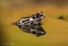 Bubbling Running Frog (Linda Martin Photography) Tags: kassinasenegalensis dorset bubblingrunningfrog wildlife frogworkshop uk nature coth naturethroughthelens alittlebeauty ngc npc specanimal