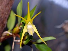 Dendrobium (Epigeneium) amplum alba (Eerika Schulz) Tags: dendrobium amplum alba epigeneium eerika schulz