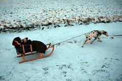DSC_7220 (Joachim S. Müller) Tags: dalmatiner dalmatian hund dog tier animal schlitten sledge sleigh sled schnee snow lautertal kuralpe hessen deutschland germany sohn