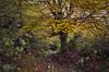 Por la Senda del Arcediano/ On the Arcediano path, Picos de Europa National Park, Spain (Jose Antonio. 62) Tags: españa spain asturias amieva picosdeeuropa hayedo haya beechtree beechtreeforest naturaleza nature trees arboles camino path