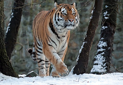 amurtiger Taymir Ouwehands JN6A2503 (j.a.kok) Tags: taymir tijger tiger amoertijger amurtiger siberischetijger siberiantiger siberie siberian asia azie predatot mammal zoogdier