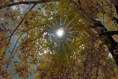 Gold star (Rocky Pix) Tags: goldstar golden cottonwood autumn color fall diaphragm star burst dawsonpark mcintoshlake longmont boulder county colorado rockypix rocky mountain pix wmichelkiteley f16 1800thsec 95mm 70200mmf28gvr nikkor telezoom monopod