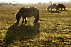 "2017_365019 - New Forest Ponies • <a style=""font-size:0.8em;"" href=""http://www.flickr.com/photos/84668659@N00/32418107325/"" target=""_blank"">View on Flickr</a>"