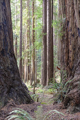 Muir Woods No. 1 - California (Michael Evans) Tags: muirwoods forest redwood nature environment outdoors outside tree california nationalpark green sunlight pacific coast west sanfrancisco marincounty tourism color yellow blue magenta red