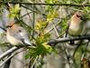 Jaseur D'Amérique - Cedar Waxing........9 Mai 2016.....DSCN164313 (Diane.G.) Tags: oiseaux birds jaseurdamérique cedarwaxing specanimal thesunshinegroup livingjewelsofnature preciouslivingjewelsofnature coth sunrays5 coth5 damniwishidtakenthat onceinyourlife mesfavoriscoupdecoeur alittlebeauty éblouissantenature photossansfrontières faunaandflora confidentialisthebest bestofdamn lapetitegalerie treasuresofkeepyoureyesopen ayezloeil fantasticnature collectionsparimpatience memberschoice