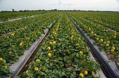 Melon fields DSC_0763 (Võ Công Lâm) Tags: nikkor 1685mm f3556 vr