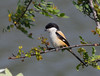 Long-tailed shrike (tareq uddin ahmed) Tags: birds animal forest canon is wildlife indian usm ahmed bangladesh shrike chittagong uddin schach longtailed tareq lanius 70d kaptai
