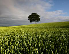 Lonely Oak, Northchapel (Simon Verrall) Tags: sky field barley one westsussex horizon lonely oaktree northchapel arable