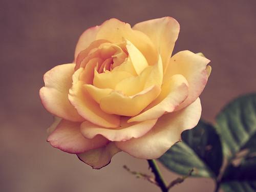 Und noch ne Rose