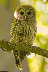 barred owl victoria bc (lee barlow) Tags: canada nikon britishcolumbia vancouverisland victoriabc barredowl strixvaria birdsofbritishcolumbia leebarlow birdsofnorthamerica owlsofnorthamerica