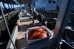 Fileting salmon