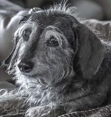 Happy 13th Birthday Rosie (Sugardxn) Tags: birthday blackandwhite bw dog pet canon miniature wire rosie canine dachshund eyebrow snout doxies k9 wirehair weinerdog dashhound miniwire canoneos7d canon7d sugardxn garypentin