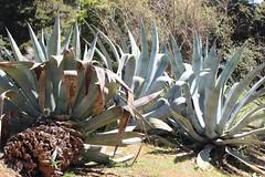 IMG_7128 (Richimal) Tags: cactus gardens cacti garden botanical croatia botanic suculent lokrum