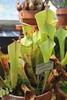 IMG_4523 (cheryl's pix) Tags: california berkeley botanicgarden botanicalgardens botanicalgarden botanicgardens berkeleyca berkeleybotanicalgarden ucbotanicalgarden universityofcaliforniabotanicalgarden universityofcaliforniabotanicalgardenatberkeley