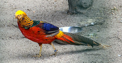 The Golden Pheasant --- le faisan doré 2 (Cloudwhisperer67) Tags: the golden pheasant le faisan doré artistique funny color couleur colored coloured colors rainbow arcenciel blue green yellow jaune rouge red vert bleu france great nice weather sun strasbourg parc nature natural flickr award orangerie cloudwhisperer67 cloudwhisperer cloud whisperer 67 raphael raphaël colorphotoaward animal animals flickraward5 fun adorable amazing be lovely love photography art europe europa colorful canon 760 760d