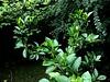 #Gartenzauber (RenateEurope) Tags: green july magnolia orangetree 2015 cotoneasterlucidus shinycotoneaster greenbeautyforlife renateeurope ipadair2