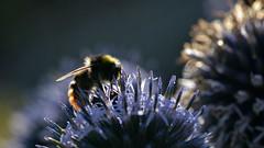 Hummel in der Abendsonne (karinrogmann) Tags: thistle bumblebee bombo hummel distel cardo