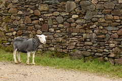 Stone & Wool. (mrstaton) Tags: lake nature sheep lakes lakedistrict cumbria shorn herdwick canoneos70d