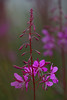 Rosebay willowherb or Fireweed in late dull evening light. Chamerion angustifolium (KlavsNielsen) Tags: closeup macro nature itsalive flower evening lilac purple