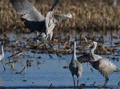 Sandhill Cranes (larryvenus) Tags: infocus sandhillcranes sandhillcranesdancing consumnesriverwildlifepreserve nikon nikond500 tamron tamron150600mmg2 sanjoaquincountybirds statenisland lodicranes